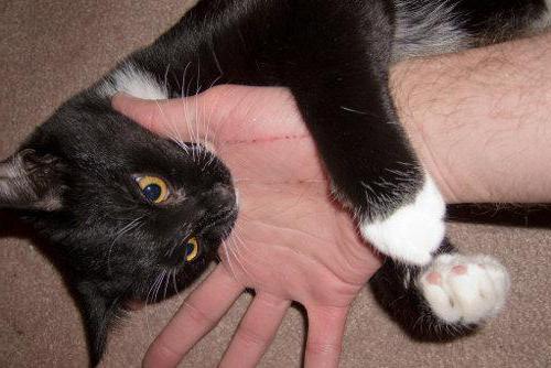 Укус домашнего кота чем лечить в домашних  37
