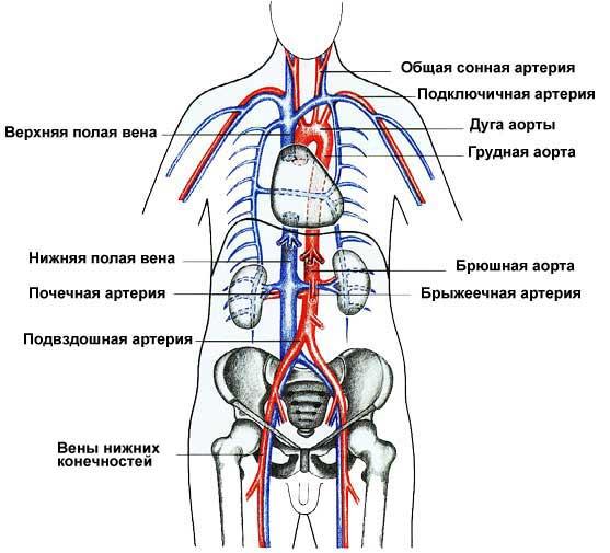 фаза кровообращения,